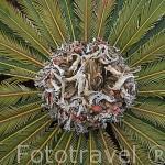 Helecho arboreo. Cibotium spp / Cyathea spp.