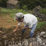 Agricultor y cultivando segun metodos tradicionales. Quinta do Martelo. (Sao Mateus). Angra do Heroismo. Isla de TERCEIRA. Azores. Portugal