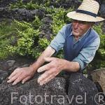 Manos de un agricultor. Viñedos creciendo sobre roca volcanica basaltica Patrimonio de la Unesco. Isla de PICO. Azores. Portugal