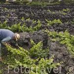 Agricultor cuidando sus viñas. Viñedos creciendo sobre roca volcanica basaltica Patrimonio de la Unesco. Zona de Lajido de Criacao Velha. Isla de PICO. Azores. Portugal