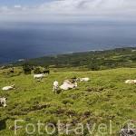 Vista panoramica desde lo alto de la montaña (2351 mts, la montaña mas alta de Portugal) y ganado vacuno. Isla de PICO. Azores. Portugal