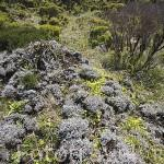 Flores y vegetacion alpina en lo alto de la montaña a 2000 mts de altitud. Isla de PICO. Azores. Portugal