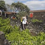 Fumigando los viñedos (Patrimonio de la Unesco) en la ladera de la montaña. Pueblo de Sao Mateos. Isla de PiCO. Azores. Portugal