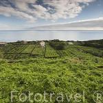 Viñedos en Terra do Pao (patrimonio de la Unesco). Isla de PINO. Azores. Portugal