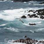 Gaviota y mar embravecido. Isla de SAO MIGUEL. Azores. Portugal