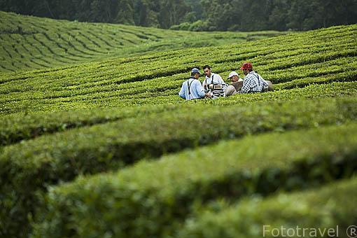 Trabajadores cortando a maquina las hojas de Te. Campos de Te / Cha. Cerca de Ribeira Grande. Isla de SAO MIGUEL. Azores. Portugal