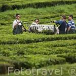 Trabajadores cortando a maquina las hojas de Te. Campos de Te / Cha. Cerca de Ribeira Grande. Isla de SAO MIGUEL.