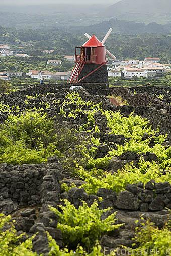 El molino de Frade, de epoca flamenca, entre viñedos y roca volcanica (Patrimonio de la Unesco). Isla de PICO. Azores. Portugal
