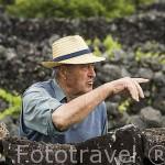 Viticultor entre paredes de roca basaltica y viñedos (Patrimonio de la Unesco). Isla de PICO. Azores. Portugal