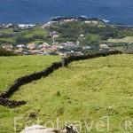 Vacas pastando en lo alto de la montaña de la isla de PICO. Azores. Portugal