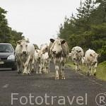 Ganaderos moviendo al ganado vacuno de una parcela a otra por la carretera. Isla de PICO.