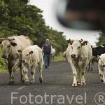 Ganaderos moviendo al ganado vacuno de una parcela a otra por la carretera. Isla de PICO. Azores. Portugal
