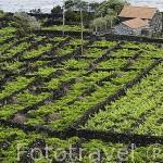 Viñedos entre muros de roca volcanica (Patrimonio de la Unesco). Isla de PICO. Azores. Portugal