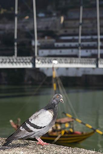 Un paloma junto al rio Duero