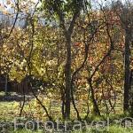 """Viñedos """"enforcados"""" de vinho verde en la zona entre Amarante y Mesao Frio. Portugal"""
