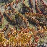 Viñedos en el valle del Corgo. Portugal
