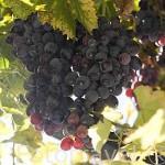 Racimo de uvas. Cerca del pueblo de REGUA. Zona del rio Duero. Portugal