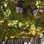 Racimos de uvas. Quinta do Vallado. Cerca del pueblo de REGUA. Portugal