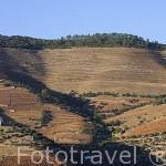 Viñedos en la zona de Cima Corgo. Portugal