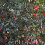 """Arbol y frutos del Madroño. """"Arbutus unedo"""". Zona del rio Duero. Portugal"""