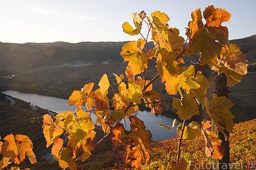 Viñedos y el río Duero. Zona de Cima Corgo. Portugal