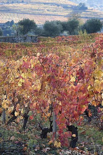 Bancales y viñedos. Muchas variedades de uva. Rio Duero. Zona de Cima Corgo. Portugal