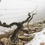 Viñedos en terrazas en invierno. Quinta do Seixo. En VALENCA DO DOURO. Valle del Duero. Portugal