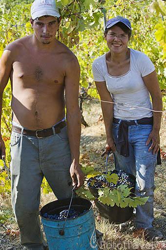 Pareja de vendimiadores portugueses. Vendimia de uva para vino Oporto. Viñedos de la Quinta La Pacheca. Cerca de la población de REGUA. Valle del Duero. Portugal
