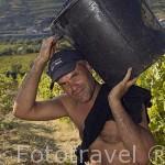 Vendimia de uva para vino Oporto. Viñedos de la Quinta La Pacheca. Cerca de la población de REGUA. Valle del Duero. Portugal