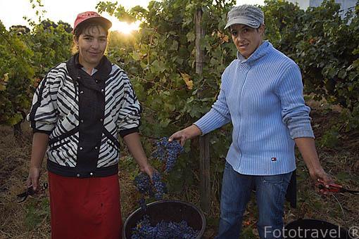 Jornaleros trabajando en la vendimia. Cerca de la población de REGUA. Valle del Duero. Portugal