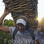 Jornalero trabajando en la vendimia. Cerca de la población de REGUA. Valle del Duero. Portugal