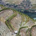 """Vendimia y viñedos dispuestos en fila doble para mayor exposicion al sol llamados """"Patamares"""". Quinta do Seixo. Cerca de REGUA. Valle del Duero. Portugal"""