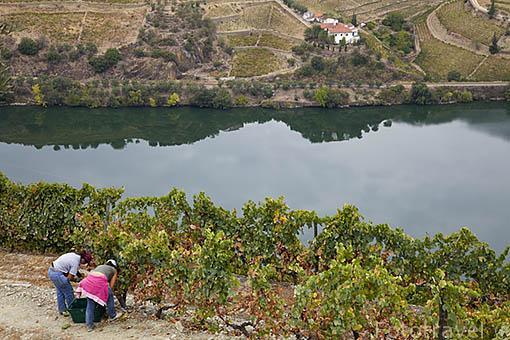 """Vendimia. Viñedos dispuestos en fila doble para mayor exposicion al sol llamados """"Patamares"""". Quinta do Seixo. Cerca de REGUA. Valle del Duero. Portugal"""