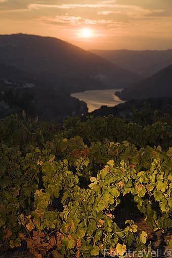 Viñedos al atardecer. Al fondo el valle y el rio Duero. Portugal
