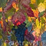 Uvas para vino tinto / Oporto. Cerca de MIRANDA DEL DUERO. Valle del Duero. Portugal
