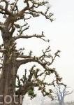 Bosque de Baobabs cerca del delta de Saloum. Senegal. Africa