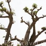 """Pastor peuhl cortando hojas de baobab """"Adansonia digitata"""" para su rebaño. Bosque de Baobabs cerca del delta de Saloum. Senegal. Africa"""
