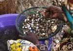 Los bivalvos son esenciales en la población de Falia. Delta del Saloum. Senegal. Africa