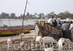 Pescadores y piraguas de pesca. Poblacion de Dionewar. Delta del Saloum. Senegal. Africa