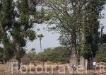 Mujer cortando hojas de baobab para su ganado. Aldea Leona y chozas. Delta del Saloum. Senegal. Africa