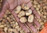 "Fruto del arbol espinoso llamado Model Soump ""Balanites egyptiaca"". Delta del Saloum. Senegal. Africa"
