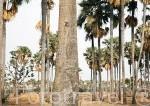 """El palmeral con la especie """"Borassus aethiopum"""" de la biosfera de Samba Dia. Delta del Saloum. Senegal. Africa"""