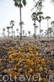"""El palmeral con la especie """"Borassus aethiopum"""" y sus frutos. Reserva de la biosfera de Samba Dia. Delta del Saloum. Senegal. Africa"""