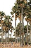 El palmeral de la biosfera de Samba Dia. Delta del Saloum. Senegal. Africa