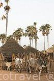 """El ganado vacuno pasta libremente. El palmeral con la especie """"Borassus aethiopum"""" de la biosfera de Samba Dia. Delta del Saloum. Senegal. Africa"""