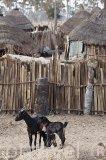 """Cabras y vacunos ganado que crian la etnia Peuhl. Cerca la aldea Yayeme rodea el palmeral, especie """"Borassus aethiopum"""". Reserva de la biosfera de Samba Dia. Delta del Saloum. Senegal. Africa"""