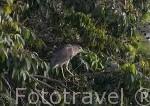 """""""Nycticorax nycticorax"""". Juvenil. Black-crowned Night Heron en un manglar. Delta del Saloum. Senegal. Africa"""