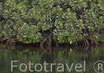 Manglar. Delta del Saloum. Senegal. Africa