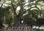 "Silk cotton tree, Fromager, ceiba, ""Ceiba pentandra"" cerca de Simal. Delta del Saloum. Senegal. Africa"