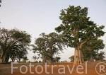 "Baobabs a lo largo de la ruta ""Adansonia digitata"". Delta del Saloum. Senegal. Africa"
